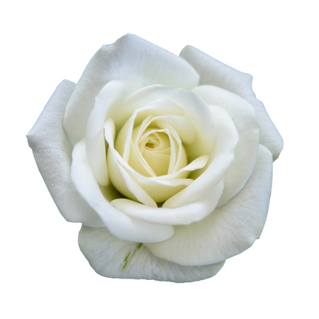 buds: White rose isolated