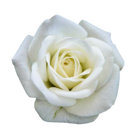 Rosa bianca isolato