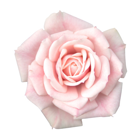 pink        color: Pink rose isolated Stock Photo