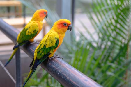 squealing: Sun Conure Parrot