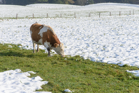 wintry: Cows grazing in a wintry field Stock Photo