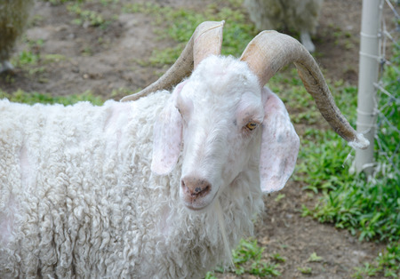 hircus: White angora goat Capra aegagrus hircus