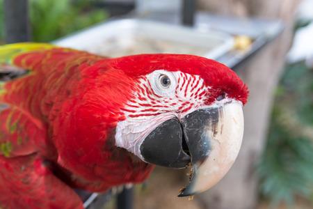 macao: Scarlet macaws Ara macao