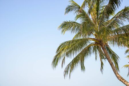 coconut leaf: coconut leaf on blue sky