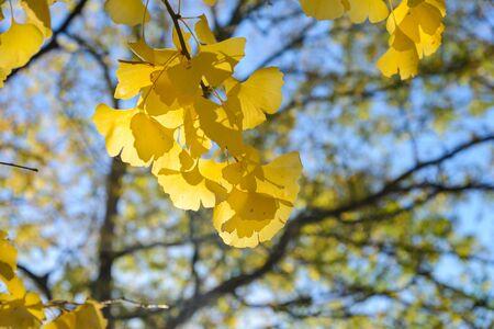 ginkgo leaf: Yellow ginkgo leaf in autumn season Stock Photo