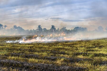 stubble: Burning straw stubble farmers when the harvest is complete. another cause of global warming