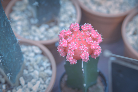 Beautiful Pink Crafted Moon Cactus in pot - cactus plant