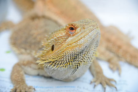 close up portrait of a pogona vitticeps (bearded agama)