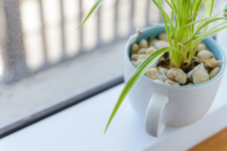 Spider Plant (Chlorophytum) in white ceramic flowerpot standing on windowsill - relax time Stock Photo