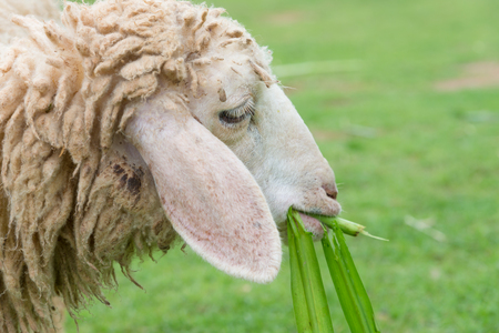 sheep eating grass leaves in sheep farm