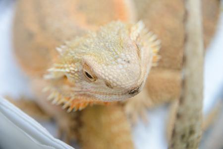 close up portrait of a pogona vitticeps (bearded agama)