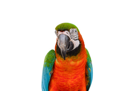 Head shot of Scarlet macaws (Ara macao) isolated on white background