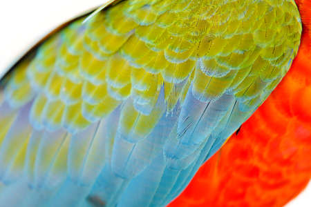 Close-up of Colorful feather Scarlet Macaw, exotic nature background and texture