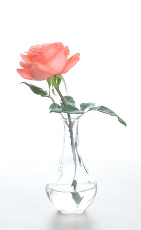 Solo hermosa rosa rosa fresca en florero de vidrio aislado sobre fondo blanco - Imagen Foto de archivo