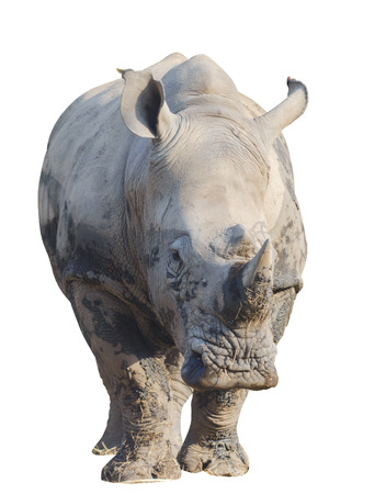 Rhino or rhinoceros isolated on white with clipping path