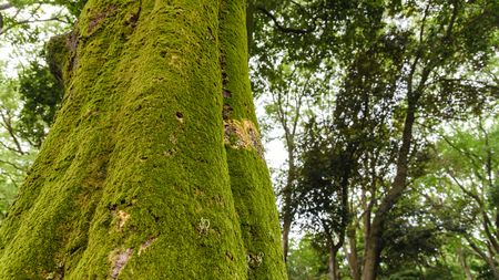 green moss growing on tree trunk in rain forest. Tree bark with green mossy