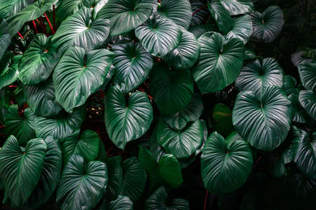 Dark green tropical leaves in the garden