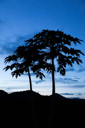 siluet: siluet papaya tree and blue sky