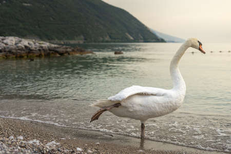 white swan at sunset on the pebble beach. in Italy on Lake Garda with mountains in the background. in the city of torbole italy. 免版税图像