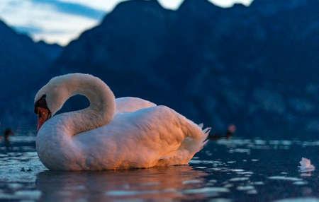 white swan swimming on lake garda at night in blue water Archivio Fotografico
