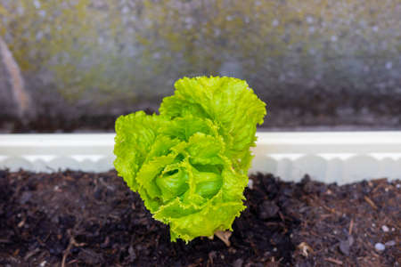 freshly growing lettuce plant that grows into lettuce in your own garden in the vegetable patch.