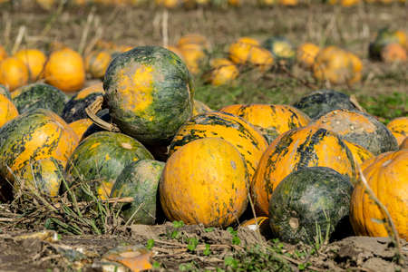 autumn field during the oil pumpkin harvest with different pumpkins