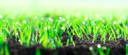 young wheat seedlings grow in an agricultural tillage field. growing newborn plants close-up. growth of vegetables and plants.