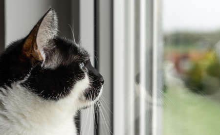 Female black and white cat closeup of face standing on windowsill window sill and looking out the window.