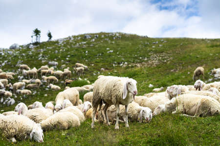 sheep stands in a flock of sheep on the mountains of italy.