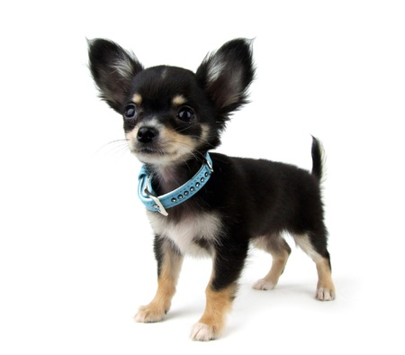 chihuahua dog: Black and Tan Chihuahua puppy on white