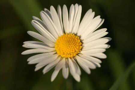 Daisy close-up with shallow dof Stock Photo