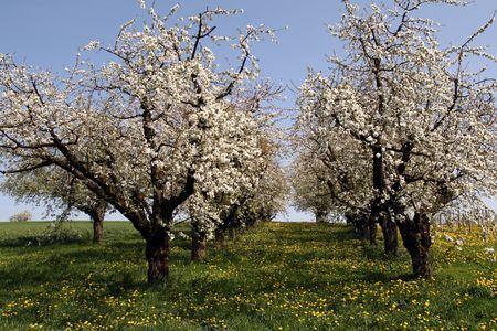 Blossomin cherry trees Stock Photo