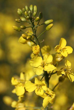 blossom of oilseed rapecanola on brownish yellow background
