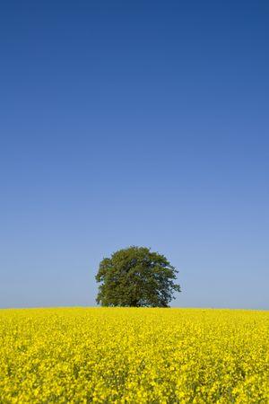 single tree stands in a field of oilseed rape Stock Photo