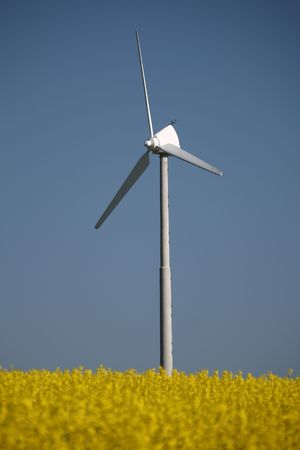 small wind turbine stands in a field of oil seed rape  canola with blue skies