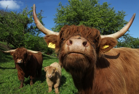 Scottish Highland Cattle Family Stock Photo