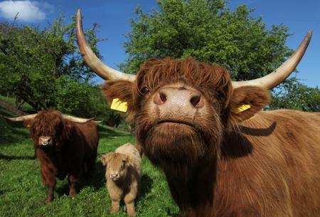 Scottish Highland Cattle Family Stock Photo