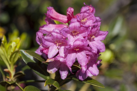 alpine rose  Rhododendron hirsutum  blossoming in the Swiss Alps near Arosa