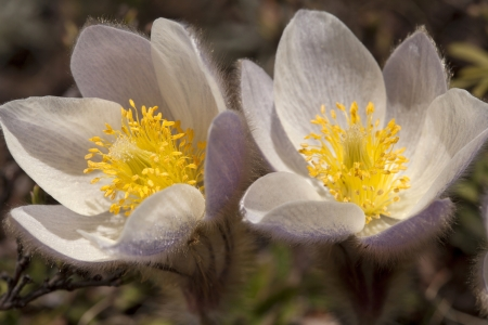 Wild spring pasqueflower or pulsatilla vernalis, a protected species in Arosa in the Swiss Alps Stock Photo