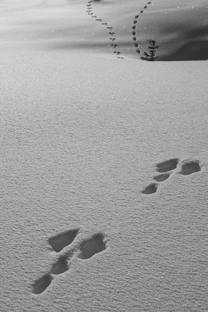 traces of a snow rabbit in freshly fallen snow - black and white