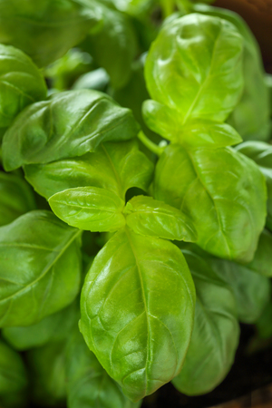 Fresh green basil in a clay pot Stock Photo