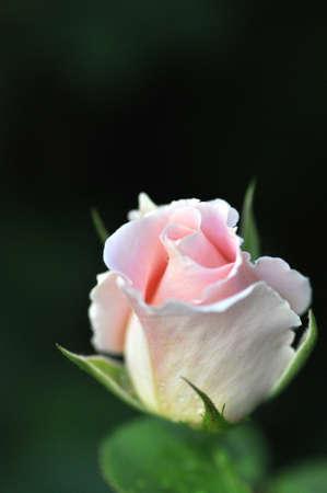 美しいピンクのバラのクローズ アップ 写真素材