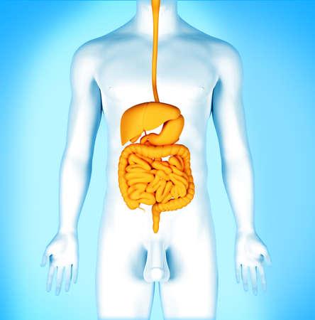 Human digestive system. Banque d'images