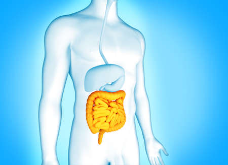 Digestive system human anatomy