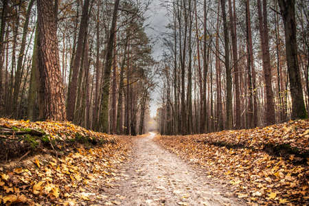 Forest landascape in the autumn. Golden fall leaves in the woods. Road in the forest outdors scenery background.