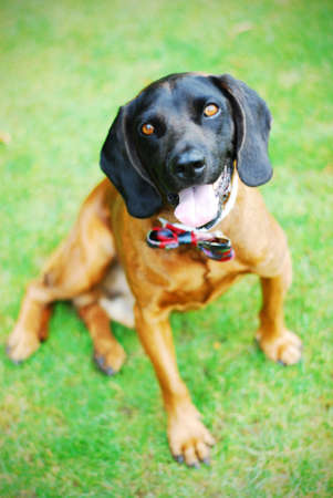 The bavarian mountain Hound with celebratory bow tie on his neck photo