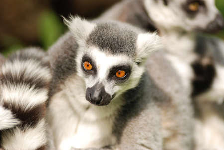 cz: Lemurs from Zoo Lesna - CZ Stock Photo