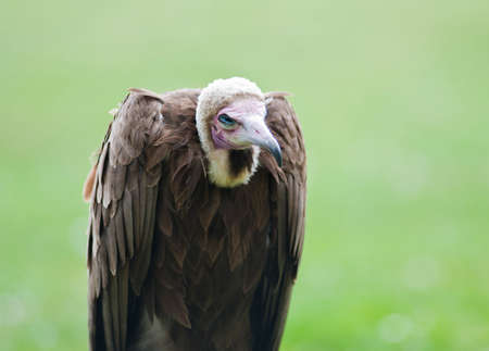 lappet: Vulture