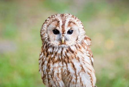 Tawny Owl photo