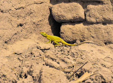 desert lizard: Toxic wild Lizard in Iraqi desert running for prey Stock Photo